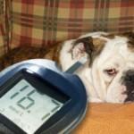 Diabetes em cães: doença pode causar cegueira em animais!
