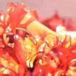 Cientistas descobrem alga que promete substituir o bacon!